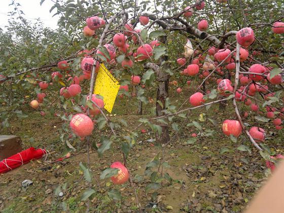 独特的山地环境,加上广大果农的有机生产技术,使宝塔区的山地苹果成为有机果、安全果、长寿果。如今,宝塔山地苹果的优质果率达到了百分之七八十,同时,宝塔区通过招商引资建成了年加工能力达到10万吨的蟠龙果汁加工厂等龙头企业,建立果农协会156个,培养了一批有经验、高素质、信誉好的经纪人队伍和营销大户,先后在包头、广州、深圳、东莞等地建立了苹果营销窗口,多次举办区级、乡镇级的山地苹果文化节,使宝塔山地苹果的品牌越叫越响,不仅畅销全国20多个省、市、自治区,还远销俄罗斯、泰国、缅甸等不少国家。每到收获季节,众多客商