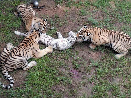 山东威海神雕山野生动物园猛兽区发生老虎