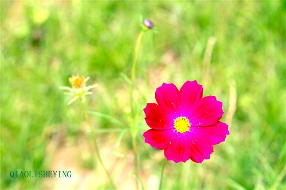 格桑花是高原上最美的花