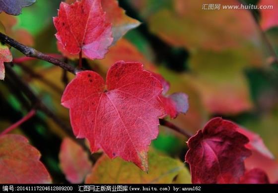 爬山虎是理想的攀缘植物,依靠吸盘沿着墙壁往上爬.春天,郁郁葱葱