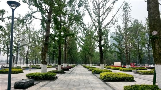 上海两江幸福广场银杏树阵,蔡律摄重庆乐邦建筑设计图片