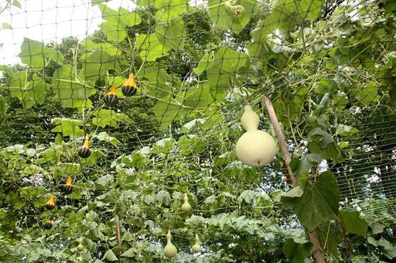 重庆南山植物园奇异南瓜。蔡律摄   这些微型观赏南瓜如拳头大小,形态有的像葫芦,有的像苦瓜,有的像雪梨,外形奇特可爱。颜色有金色、白色、条纹彩色,既可观赏又可食用,贮藏期达1~2年。目前主要品种有美国产小巧玲珑的金童、玉女、龙凤瓢及日本的福瓜、佛手等造型奇特雅致,堪为大自然的艺术品,果型有大有小,造型和色彩变化繁富,玲珑可爱。成熟的果实表面富光泽,采收后久藏不腐烂,可当室内饰品。不同颜色、造型的南瓜琳琅满目,有的挂在棚架上,有的盘栽在地上,瓜棚里行走,让人好像进入童话世界。   蔡律 2015年7月