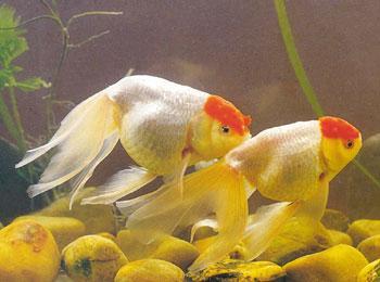 金鱼的身体结构名称图片