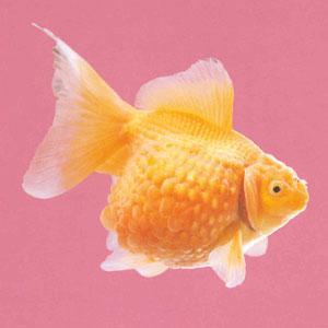 鼠头珍珠金鱼
