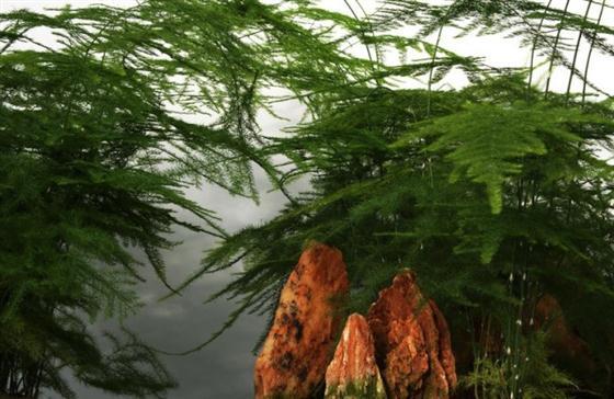 怎样修剪文竹 文竹如何修剪 水培文竹的养殖方法